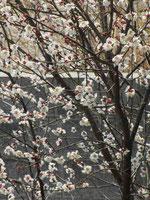 梅の花*満開