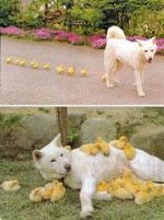 刷り込みの例(生後直後に見た犬を母親と思うひよこ)Image:Sunny Skyz