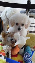 おもちゃを独り占めするロゼ