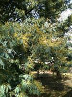 Les mimosas en Aquitaine