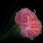 Nelke rosa