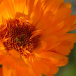 Ringelblume Calendula