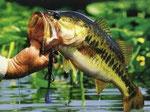 Pêche du black-bass