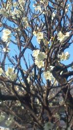 3月10日(土)裏庭の白梅 青空と・・・