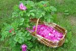 Rose de rosier rugueux dans le verger à la Clé des Champs