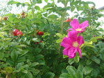 Les Cynorrhodons du rosier rugueux à la ferme de la Clé des Champs