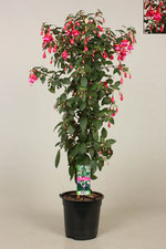 Stamfuchsia Display