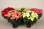 Poinsettia Christmas feelings Mix