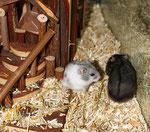 Hamster Idylle