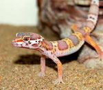 Unser Albino Leopardgecko