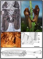 Anthoscytina perpetua Li, Shih et Ren, sp. nov.