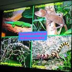 Powerpoint-Vortrag von Hans ESTERBAUER: Geckos - Biologie und Haltung in der terraristischen Praxis