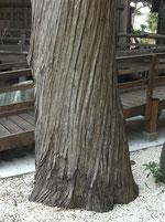 大澤寺のイブキ