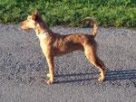 Standbild vom Irish Terrier