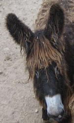Sikita Poitou Donkey