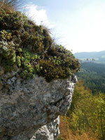 """Einer der """"schroff abfallenden Steilhäupter"""" - Felskopfvegetation mit Saxifagra paniculata, Lochen, Schwäbische Alb. Foto: Manuel Werner"""