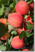 Variété d'abricot