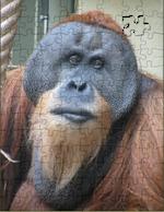 """Sumatra-Orang-Utan """"Toni"""""""