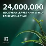 24 Millions de feuilles d'aloe vera récoltées chaque année - LR Health and Beauty plus gros producteur européen de Gel d'Aloe Vera - Aloe vera sante et beauté