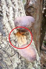原木椎茸ほだ木