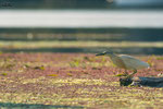 Sgarza ciuffetto (Ardeola ralloides)