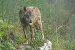 Lupo appenninico (Canis lupus italicus) - Area faunistica