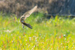 Gheppio (Falco tinnunculus)
