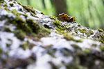 Salamandra pezzata (Salamandra salamandra gigliolii)