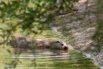 Lontra (lutra lutra)