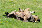2) Grand Corbeau © JlS