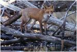 Renard roux (Vulpes vulpes) ©JlS