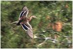 Canard colvert (Anas platyrhynchos) ©JlS