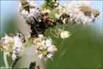 Inconsciente du danger, la mouche touche un des fils du piège  © JlS