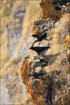 Crave à bec rouge ( Pyrrhocorax pyrrhocorax ) © JlS