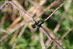 Grillon champêtre ( Gryllus campestris) © JlS