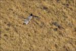 Busard Saint-Martin mâle ( Circus cyaneus ) © JlS