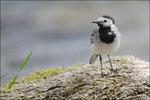 Bergeronnette grise (Motacilla alba) © JlS