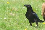 Grand Corbeau © JlS