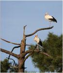 Cigogne blanche (Cicogna cicogna) ©JlS