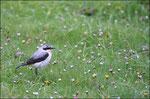 Traquet motteux mâle (Oenanthe oenanthe)