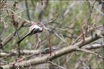 Mésange à longue queue (Aegithalos caudatus) ©JlS