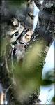 Pic épeiche (Dendrocopus major) ©JlS