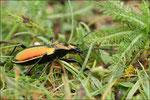 Carabe splendide ( Chrysocarabus splendens) © JlS
