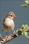 Pinson des arbres femelle ( Fringilla coelebs ) © JlS