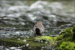 Cincle plongeur (Cinclus cinclus) © JlS