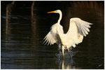 Grande aigrette (Egretta alba) ©JlS