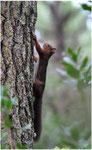 Ecureuil roux (Sciurus vulgaris) ©JlS