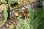 Couleuvre d'Esculape ( Zamenis longissimus) © JlS