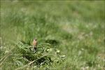 Tarier pâtre femelle © JLS