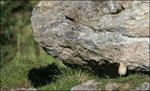 Traquet motteux (Oenanthe oenanthe) sortant du nid sous le rocher